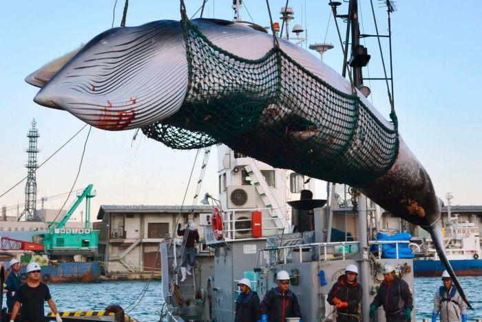 Nhật Bản chính thức bãi bỏ lệnh cấm săn bắt cá voi sau 31 năm mặc cho dư luận dậy sóng