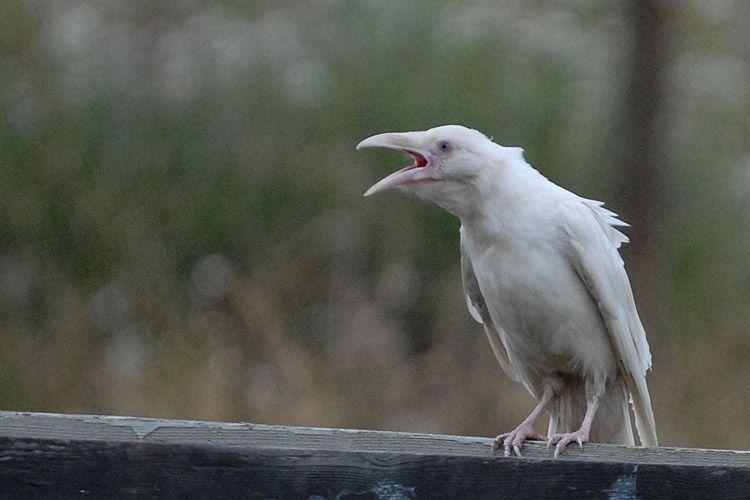 Loài quạ trắng tưởng chỉ có trong thần thoại bất ngờ xuất hiện ở bờ biển Canada