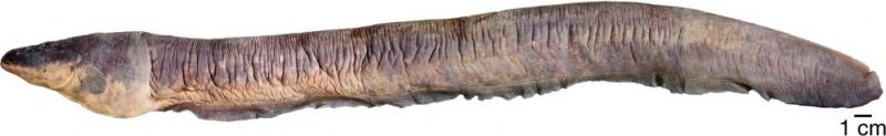 Loài lươn điện nguy hiểm nhất thế giới phóng ra dòng điện 860 volt được tìm thấy ở sông Amazon